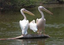 Pellicano bianco sul lago nello zoo di Delhi fotografia stock