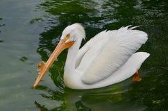 Pellicano bianco in una mostra sudorientale dell'uccello acquatico dello zoo di Florida fotografia stock libera da diritti