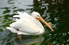 Pellicano bianco in una mostra sudorientale dell'uccello acquatico dello zoo di Florida immagini stock