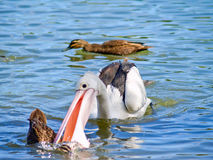 Pellicano che attaca un'anatra selvatica in acqua Fotografia Stock
