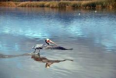 Pellicano che decolla in volo alla spiaggia di Ventura accanto alla zona umida del fiume Santa Clara sulla Gold Coast di Californ immagini stock libere da diritti