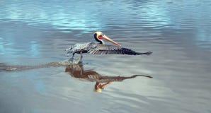 Pellicano che decolla in volo alla spiaggia di Ventura accanto alla zona umida del fiume Santa Clara sulla Gold Coast di Californ immagine stock libera da diritti