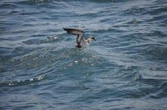 Pellicano che ottiene alimento nell'Oceano Atlantico fotografia stock libera da diritti