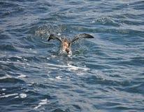 Pellicano che ottiene alimento nell'Oceano Atlantico immagini stock libere da diritti
