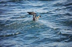 Pellicano che ottiene alimento nell'Oceano Atlantico fotografie stock