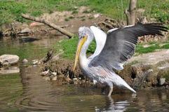Pellicano con la diffusione delle ali Immagine Stock Libera da Diritti