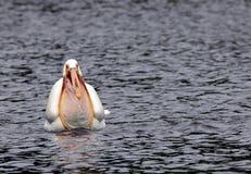Pellicano con un becco in pieno di acqua sul lago del legno fotografie stock libere da diritti