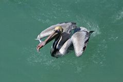 Pellicano del Brown (occidentalis di Pelicanus) Fotografie Stock