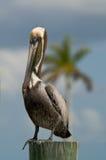 Pellicano del Brown su un accatastamento in Florida Fotografie Stock