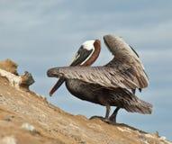 Pellicano del Galapagos Immagine Stock Libera da Diritti