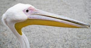 Pellicano dell'uccello acquatico fotografie stock