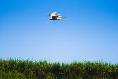 Pellicano dell'uccello al disopra della superficie con le piante Fotografia Stock Libera da Diritti