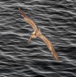 Pellicano di Brown che sale sopra la fine dell'oceano Pacifico su Fotografie Stock Libere da Diritti