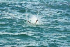 Pellicano di Brown che si tuffa una spruzzata sulla costa Est di Florida Fotografia Stock Libera da Diritti