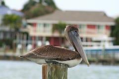 Pellicano di Brown, Florida, U.S.A. fotografia stock