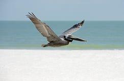 Pellicano di Brown (occidentalis di Pelicanus) Fotografie Stock Libere da Diritti