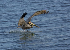 Pellicano di Brown (occidentalis di Pelicanus) Fotografia Stock