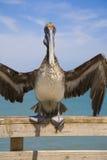Pellicano di Brown sul pilastro alla spiaggia di Jacksonville, Florida, U.S.A., Immagine Stock