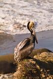 Pellicano di Brown sulla spiaggia di California Fotografie Stock Libere da Diritti
