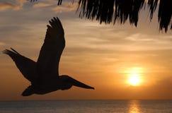Pellicano di volo al tramonto Fotografia Stock Libera da Diritti