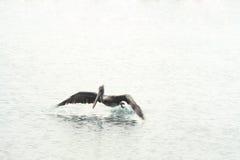 Pellicano di volo, mar dei Caraibi Immagine Stock Libera da Diritti