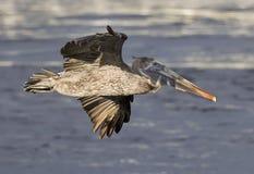 Pellicano di volo nel profilo sopra acqua fotografie stock