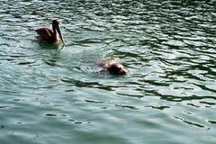 Pellicano dopo il cucciolo di foca Fotografia Stock Libera da Diritti