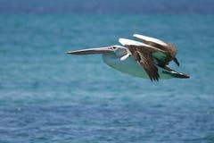 Pellicano durante il volo Fotografia Stock