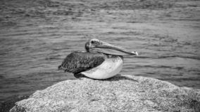 Pellicano Jupiter Inlet Atlantic Ocean Florida fotografia stock