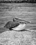 Pellicano Jupiter Inlet Atlantic Ocean Florida fotografia stock libera da diritti