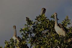 Pellicano nei terreni paludosi di Florida fotografie stock