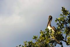 Pellicano nei terreni paludosi di Florida fotografia stock libera da diritti