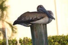 Pellicano nei terreni paludosi di Florida immagini stock libere da diritti