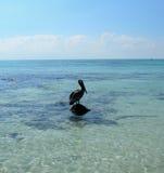 Pellicano nel Caribbeans Fotografia Stock Libera da Diritti