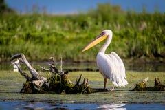 Pellicano nel delta di Danubio, Romania fotografia stock libera da diritti