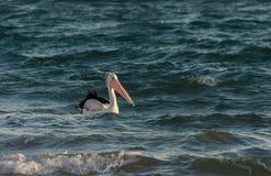 Pellicano nel mare Fotografia Stock Libera da Diritti