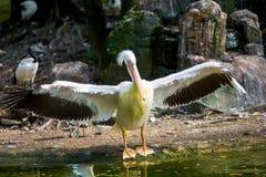 Pellicano nel parco dell'uccello Immagini Stock Libere da Diritti
