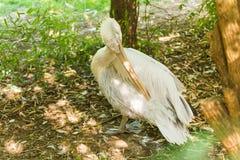 Pellicano o pellicano rosa allo zoo Immagini Stock Libere da Diritti