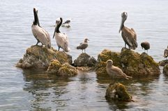 Pellicano (onocrotalus del Pelecanus) ed uccelli marini Fotografie Stock Libere da Diritti