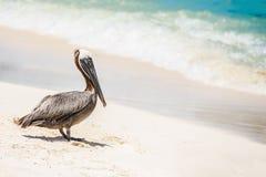 Pellicano osservando il mare caraibico in una spiaggia di Cancun Fotografia Stock Libera da Diritti