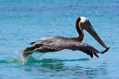 Pellicano in spiaggia della Cove del dottore in Tortola, caraibico fotografia stock