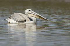 Pellicano su acqua Sudafrica fotografie stock