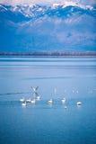 Pellicano sul lago Immagine Stock Libera da Diritti