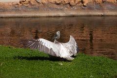 Pellicano sul lago Fotografia Stock Libera da Diritti