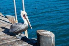 Pellicano sul porto con il fondo blu dell'oceano Immagini Stock Libere da Diritti