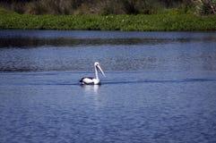 Pellicano sulla laguna a Busselton, WA, Australia immagine stock libera da diritti