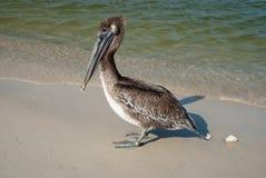 Pellicano sulla riva del golfo del Messico, Florida, U.S.A. di Brown Fotografia Stock