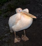 Pellicano sveglio divertente dell'uccello dello zoo Pellicano - grande uccello acquatico che mangia il pesce fotografia stock libera da diritti