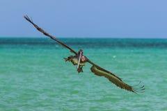 Pellicano in volo Fotografie Stock Libere da Diritti