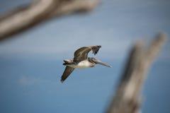 Pellicano in volo Fotografia Stock